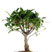 Chinese green bonsai tree — Stock Photo