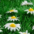 Daisies on grass — Stock Photo