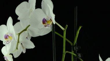 Orchidea bianca — Video Stock