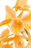 Closeup of orange dendrobium flowers — Stock Photo