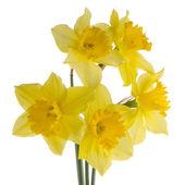 Jonquil flowers — Stock Photo