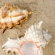 Conchs and shells  — Stock Photo