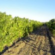 Terraced vineyards — Stock Video