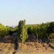 Terraced vineyards — Stock Video #31607751