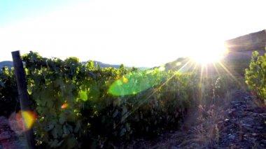 Viñedos aterrazados en el día de sol — Vídeo de stock