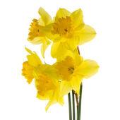 Květiny narcis — Stock fotografie