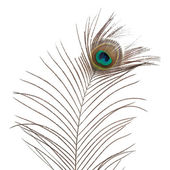 Peacock feather — Foto Stock