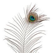 Peacock feather — Stok fotoğraf