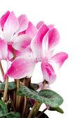 Flor linda ciclâmen rosa — Foto Stock