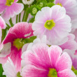 Closeup of pink primrose flowers — Stock Photo