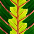 Green leaf with red veins — Stock Photo