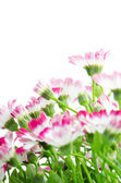 Beautiful pink flowers and green grass — Stock Photo
