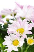 Beautiful Chrysanthemum flowers — Стоковое фото