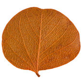 Autumn leaf — Stockfoto