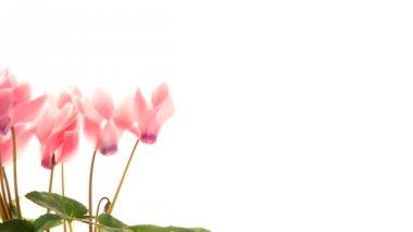Beautiful pink Cyclamen flower — Stock Video