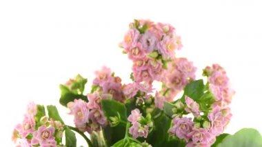 Kalanchoe Calandiva flowers — Stock Video