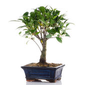 Chinese green bonsai tree — 图库照片