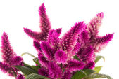 Cockscomb celosia spicata plant — Stock Photo