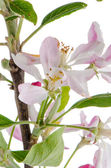 Closeup of Apple blossoms — Stock Photo