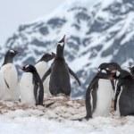 Antarctic penguin — Stock Photo