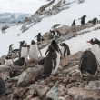Antarctic penguin — Foto Stock