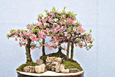 Chinês bonsai — Foto Stock