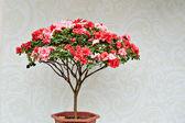 中国の盆栽 — ストック写真