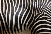 Zebra Stripes — Stock Photo