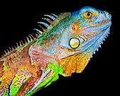Iguana — Stockfoto