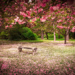 Stock Photo: Cherry Blossoms and Bench
