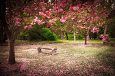 Cherry Blossoms and Bench — Stock Photo