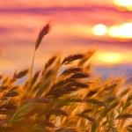 Beach Grass — Stock Photo #25714079