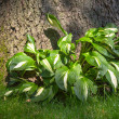 Stock Photo: Hostas Plant