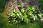 Hostas Plant — Stock Photo