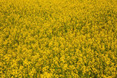 горчица полевые цветы — Стоковое фото
