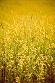 поле желтых цветов — Стоковое фото