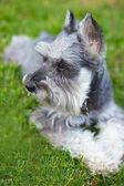 Pes knírač — Stock fotografie