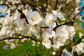 Flowering cherry trees in spring — Stock Photo
