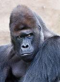 Portrait of a male gorilla — Stock Photo
