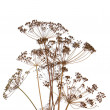 Foto Stock: Fennel over white background