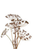 The fennel over white background — Stock Photo