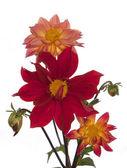 The decorative garden flowers — Stock Photo