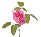 The decorative pink rose — Stock Photo