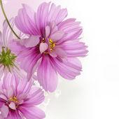 Garden decorative dark pink flowers — Stock Photo