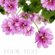 Decorative beautiful dark pink flowers — Stockfoto