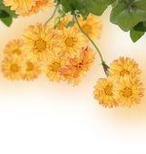 The decorative chrysanthemum — Stock Photo