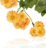 The decorative yellow dahlia — Stock Photo