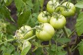 Green garden tomato.Agriculture — Stock Photo