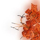 Naranja lirio hermoso — Foto de Stock