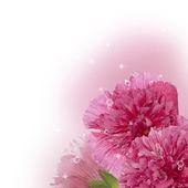 Pink beautiful roses — Stock Photo